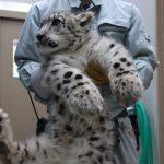 【動画】北海道・旭山動物園のユキヒョウの子どもが抱っこが大変なほど成長してるwwwwww