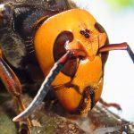 オオスズメバチの飛行速度が最大時速40:kmという事実