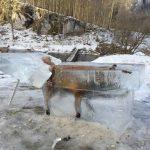 【画像】ドナウ川に落ちて凍ったキツネ、氷の塊ごと切り出されるwwwwww