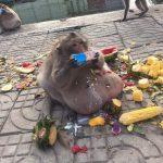 【画像】クソ猿、人間から餌をもらい過ぎてとんでもない姿になるwwwww