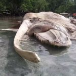 【画像】海岸に打ち上げられた15メートルの謎の巨大生物の死骸がイカかクジラかで論争にwwwwww