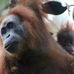 【画像】絶滅危惧「新種のオランウータン」がインドネシアのスマトラ島で発見される!!