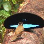 【画像】この世で最も黒い鳥の秘密が判明する!99.95%の光を吸収し極度に黒を保つwwwww