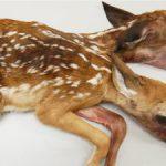 【画像】これは珍種!「2つの頭を持つ鹿」が発見されるwwwwwwwwwww
