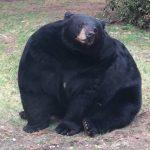 【画像】北海道でとんでもなく太った熊が発見されるwwwww