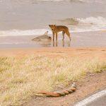 【悲報】オーストラリアさん、ビーチでイヌがサメを襲い、その横でヘビが交尾する無法地帯だった (※画像あり)