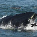 【画像】クジラに呑み込まれた男性、口の中から逃げ出して助かるwwwwwww