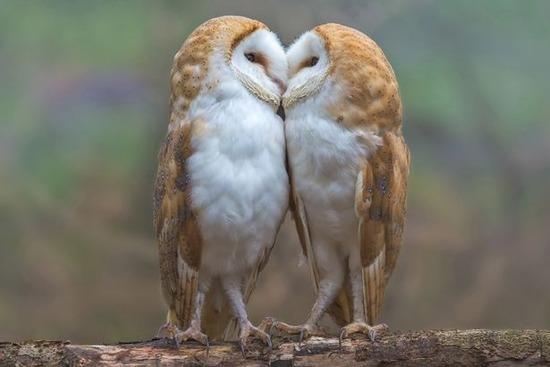 【画像】愛らしいフクロウの画像貼ってくwwwwwwwwwww